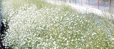 カスミソウ栽培